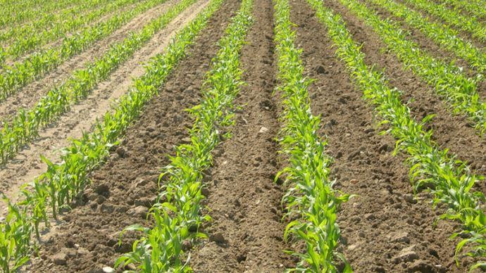 Fertilisation du maïs