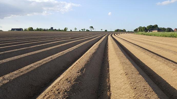 Dans le Nord, ici à Steenvoorde, les surfaces butées de pommes de terre sont en légère hausse.