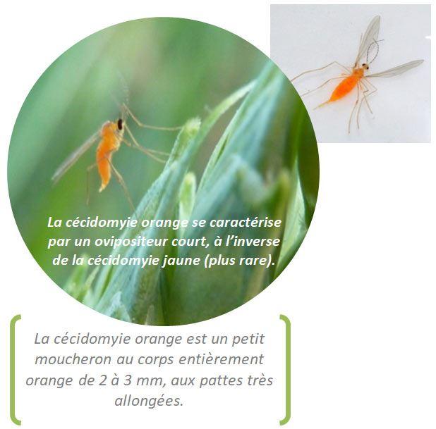 Cécidomyie orange adulte en position de ponte et sur fond blanc après piégeage