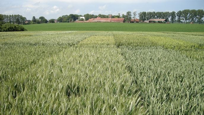 Micro-parcelles de blé