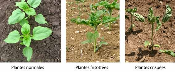 Comparaison entre les plantes normales, frisottées et crispées