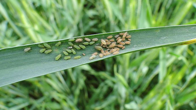 Colonie de pucerons sur blé tendre
