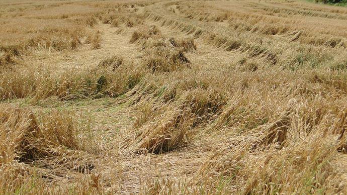 Champ de blé versé