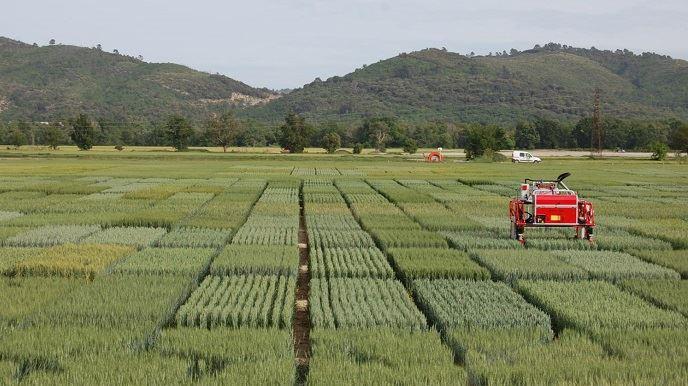 Robot dans du blé tendre