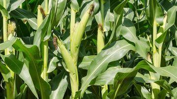 Surveillez la date de floraison du maïs pour récolter au bon stade