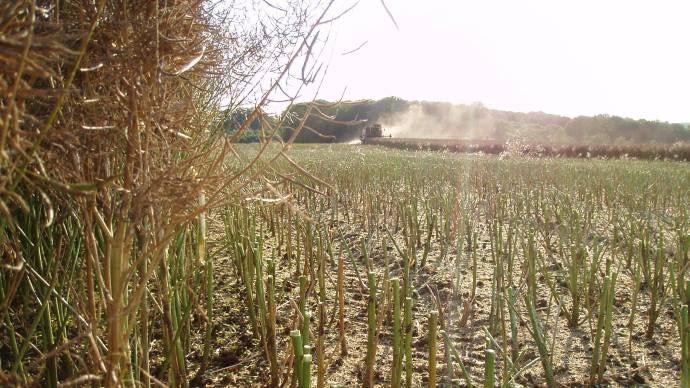 Récolte de colza