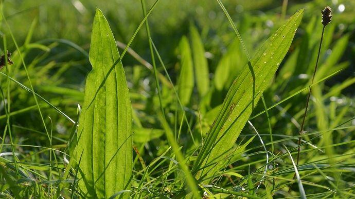 Le plantain, riche en tanins s'associe facile à la chicorée ou à un mélange de graminées et de trèfles et offre un fourrage vert sur une longue durée