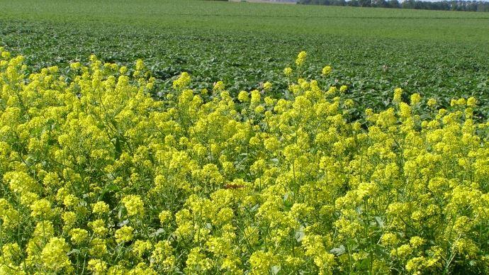 Dans une cinquantaine de départements, les agriculteurs avaient jusqu'au 13 août pour implanter leurs surfaces d'intérêt écologique. En raison de la sécheresse, le ministère de l'agriculture accordera des dérogations individuelles en cas de force majeure.