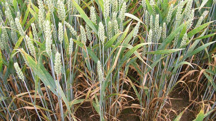 Septoriose sur blé tendre