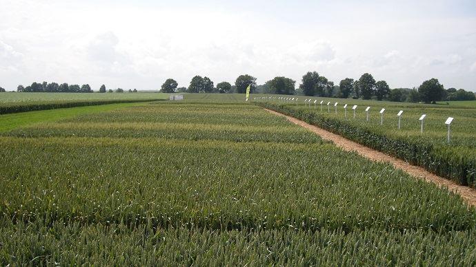 Parcelles d'essais de blé