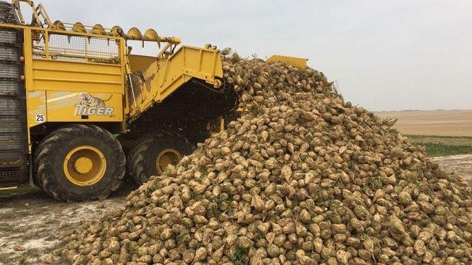 Les arrachages de betteraves ont commencé à la mi-septembre chez les producteurs Tereos.