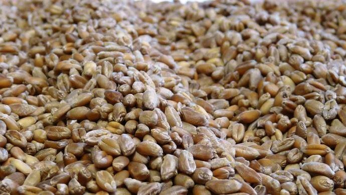 Les Russes cherchent à conquérir le marché algérien pour exporter du blé chez le premier client de la France. Mais la Russie devra encore faire des efforts sur le long terme pour satisfaire les exigences sanitaires des autorités algériennes.