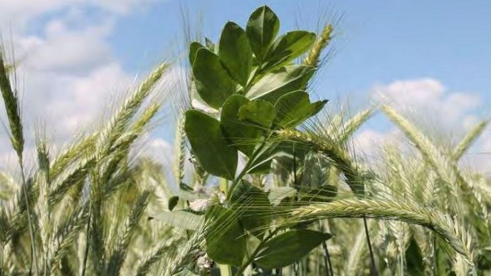 L'association triticale + féverole pour une récolte en grains est la plus recommandée par les experts du programme Reine Mathilde pour sa productivité et sa bonne valeur MAT