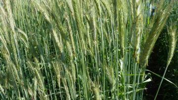 Céréales, maïs et protéagineux: quelles cultures pures pour un bon concentré ?