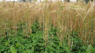 Sous quels couverts semer une prairie temporaire?