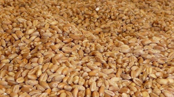 Pour un producteur sur cinq, il reste encore plus de la moitié de la récolte de blé tendre 2018 à commercialiser.