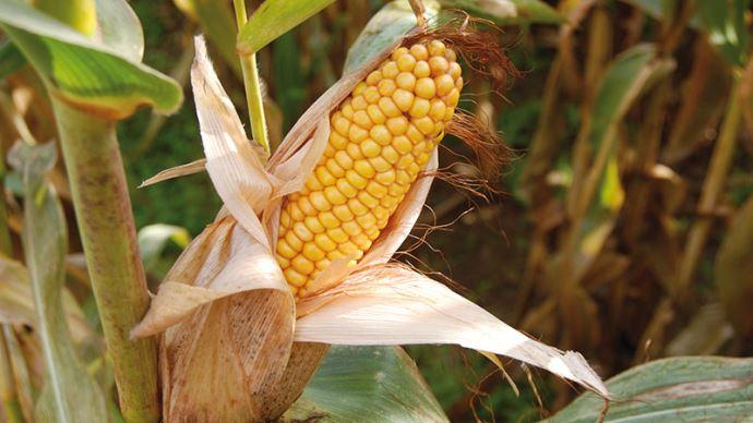 Maïs grain à maturité