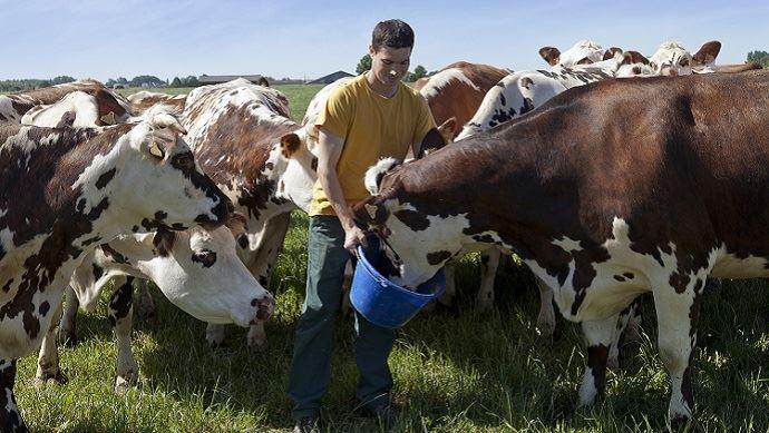 jeune eleveur avec vaches normandes