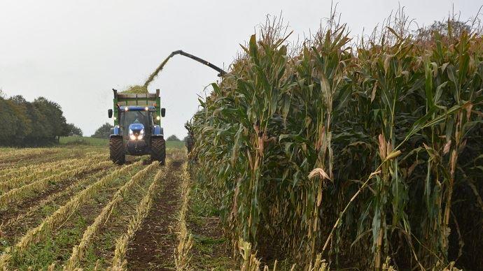 L'ensilage de maïs brins longs oblige d'insister sur le tassement du silo pour assurer sa conservation. De plus, il n'y aura pas de différences par rapport à un ensilage classique sur les performances laitières.
