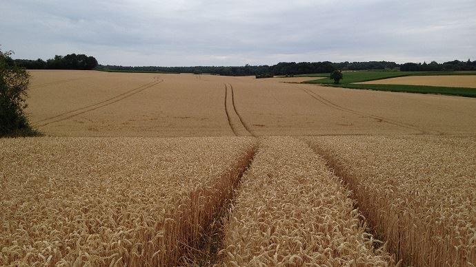 En Russie, sauf incident climatique majeur, la récolte 2019 de blé pourrait dépasser les 80 Mt, soit la deuxième plus forte production après le record de 2017.
