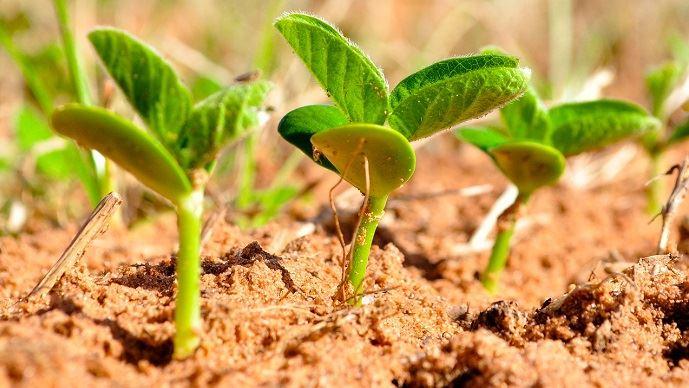 La filière soja française ambitionne de développer la culture sur 250000ha d'ici 2025, contre 254000 en 2018.