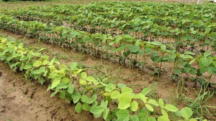 Plantes inoculées sur le rang au premier plan vs plantes inoculées sur les premiers rangs