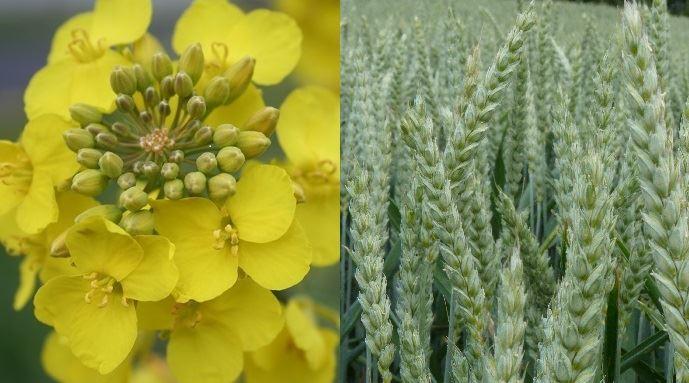 Colza et blé
