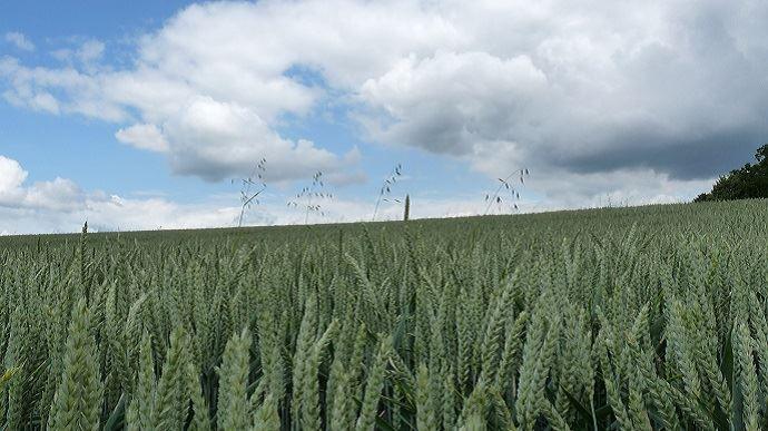champs de ble sous les nuages
