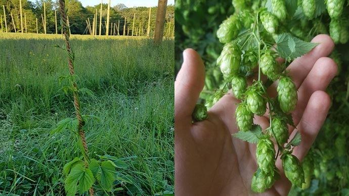 le houblon est une plante grimpante et ses fleurs donne aux bieres leur arome