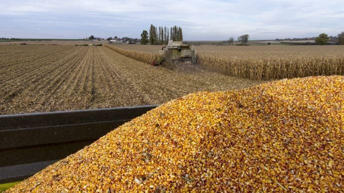 Récolte de maïs grain