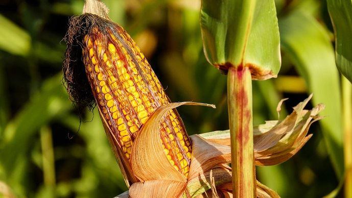Épisde maïs
