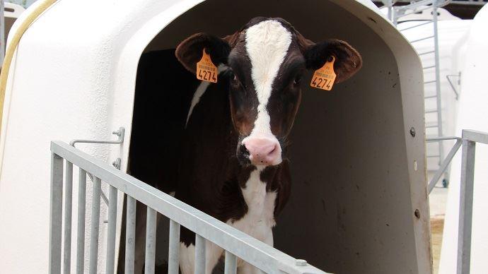 Une génisse présentant des lésions pulmonaires durant ses 2 premiers mois de vie aura une production laitière inférieur de 550kg de lait sur sa première lactation.