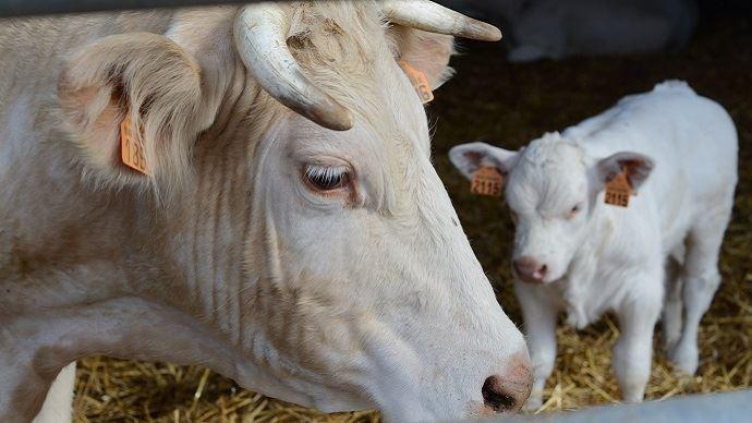 La situation des élevages bovins toujours morose après la clôture d el'hiver 2018