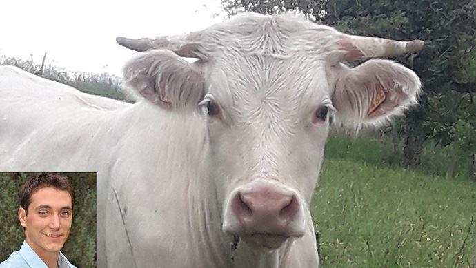 vaches allaitantes dans prairies ferme bellevue