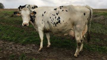 À 8 ans, Galaxie (Shottle x Rionel Ad) est sacrée vache de l'année 2019