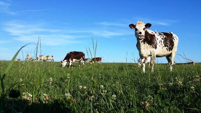 vaches laitieres au pre