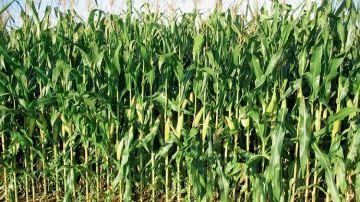 Les résultats d'essais des variétés de maïs fourrage en 2019