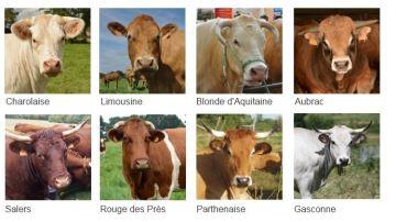 Les performances des 8 principales races allaitantes françaises
