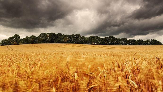 Champs blé et orage