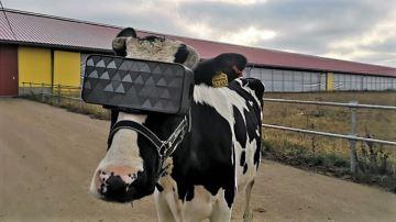 Des vaches équipées de casques de réalité virtuelle pour produire plus de lait