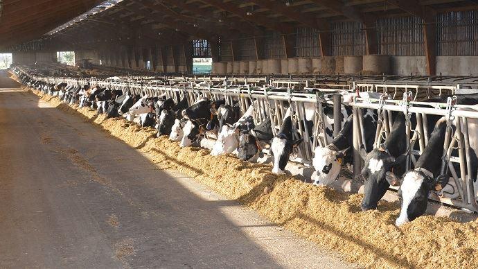 Vaches laitières à l'auge ration complète