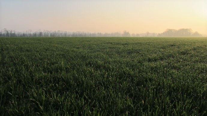 Champs de blé au levé du jour