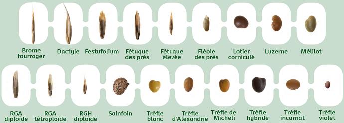 Graines semences de fourragères