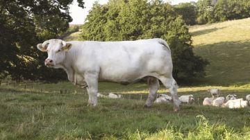 Idéale la Charolaise égérie du Sia mais aussi porte-parole de l'élevage français