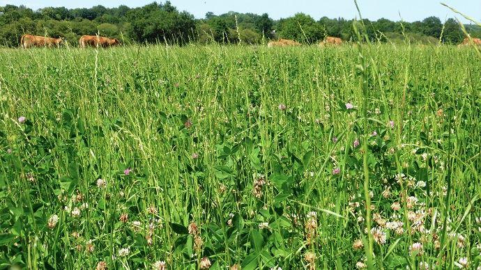 Prairie à flore variée en fleur à la ferme expérimentale de Thorigné d'Anjou (49)