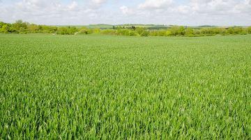 Comment conduire un blé semé au printemps?