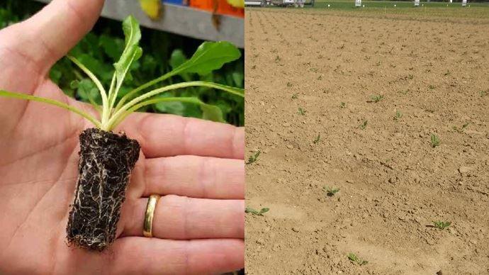 Repiquage et semis en carré