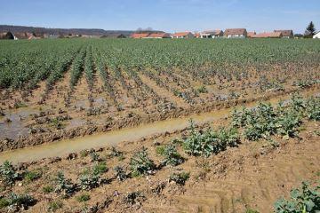 Sols trop humides et fertilisation du colza: que faire?