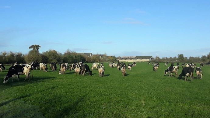 Vaches en pâture