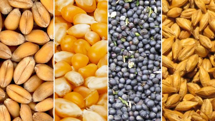 Grains de blé, maïs, colza et orge